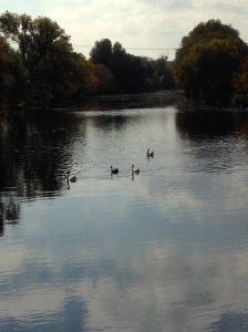 Swans on the River Dyje