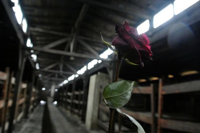 Rose at Auschwitz