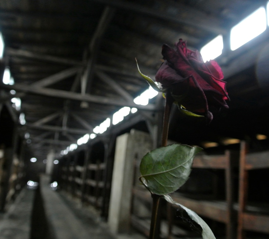 Rose at Auschwitz