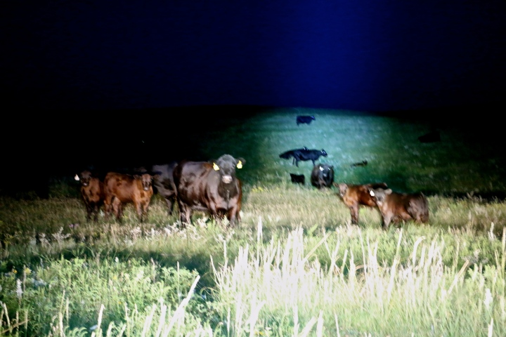 Cows at Night