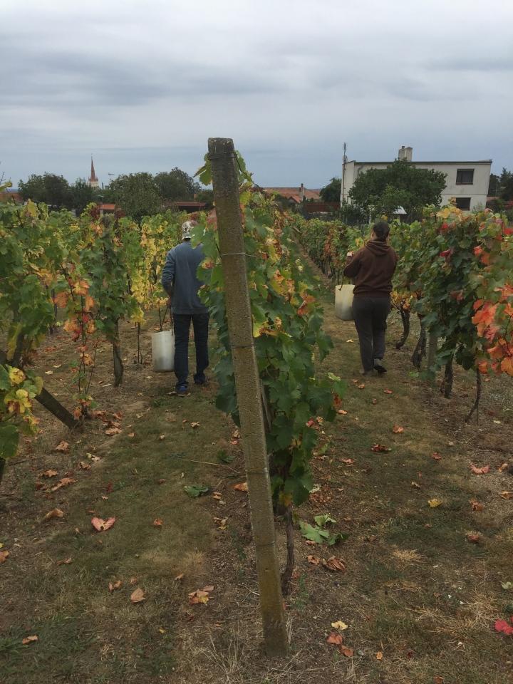 Moravia wine harvest